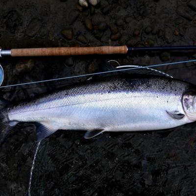Spring Salmon On The Fly