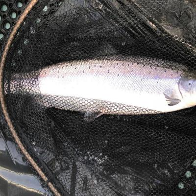 Perfect River Tay Springer